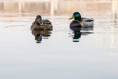 鸭子和雄鸭美好的夫妇在河航行 免版税库存图片