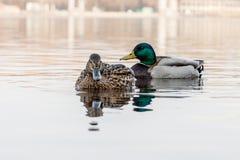 鸭子和雄鸭美好的夫妇在河航行 免版税图库摄影