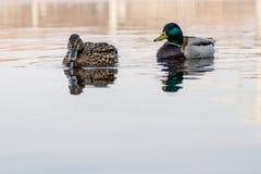 鸭子和雄鸭美好的夫妇在河航行 图库摄影