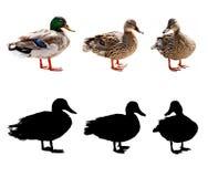 鸭子和雄鸭 免版税库存图片