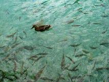鸭子和鱼在Plitvice湖 免版税库存图片