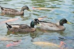 鸭子和鱼 库存图片