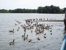 鸭子和鲤鱼反馈在溢洪道 库存照片