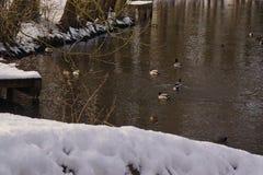 鸭子和鸟在喑哑的一个冰冷的水的池塘在雪下的 库存图片
