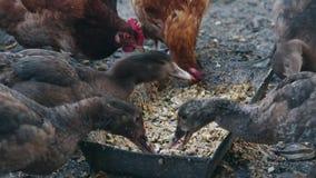鸭子和鸡吃在鸟农场的玉米 哺养的国内鸭子和鸡在农场 股票录像