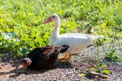 鸭子和鸡在粪小山 免版税库存图片