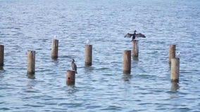 鸭子和鸥坐在水的管子 股票录像