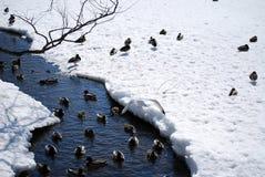 鸭子和鸥 库存照片