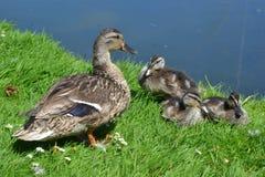 鸭子和鸭子在草 免版税库存照片