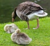 鸭子和鸭子在Nymphenburg宫殿附近的公园在慕尼黑在巴伐利亚 库存图片