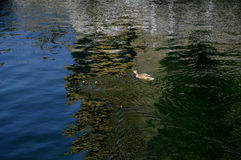 鸭子和鸭子 图库摄影