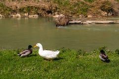 鸭子和鹅在一条安静的河附近 免版税库存照片