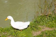 鸭子和鹅在一条安静的河附近 图库摄影