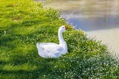 鸭子和鹅在一条安静的河附近 免版税库存图片