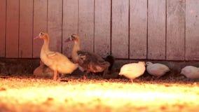 鸭子和鹌鹑在家禽场的农厂谷仓 繁殖的家养的鸟 股票视频