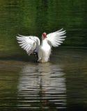 鸭子哑纵向 库存照片