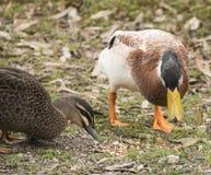 鸭子哺养 免版税库存照片