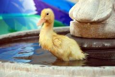 鸭子喷泉水年轻人 免版税库存照片