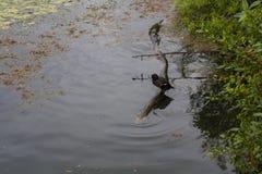 鸭子在一个树干站立在河 免版税库存照片