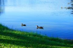 鸭子在一个蓝色池塘 免版税库存图片