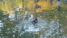 鸭子在公园关闭  股票视频