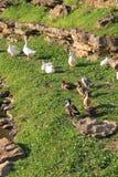 鸭子在公园 免版税库存照片