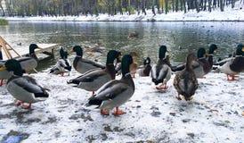 鸭子在冬天河,冬天在城市 免版税图库摄影