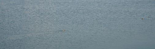 鸭子在冬天游泳 库存照片