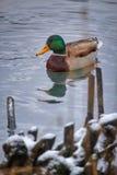 鸭子在冬天 免版税库存图片