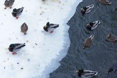 鸭子在冬天 库存照片