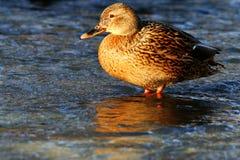 鸭子在冷的池塘水中 免版税库存图片