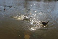 鸭子在发光的水中 免版税库存照片