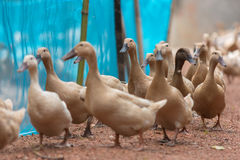 鸭子在地面走 免版税库存图片