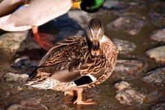 鸭子在城市公园 免版税库存照片