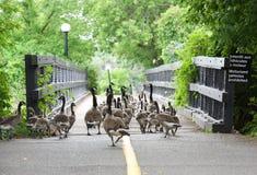 鸭子在城市 走在公园的野生鸟在渥太华,加拿大 免版税库存图片