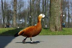 鸭子在城市 库存图片