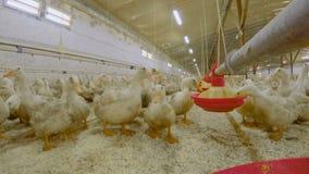 鸭子在家禽场吃饲料 股票录像