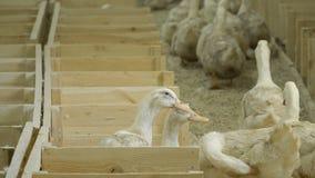 鸭子在家禽场的待售 股票录像
