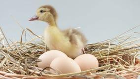 鸭子在巢坐在鸡蛋和尖叫附近 股票录像