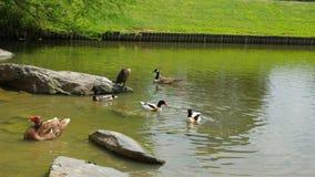 鸭子在庭院里 免版税库存图片