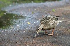 鸭子在春天在水坑,一只鸭子的走 鸭子沿沥青走 在水附近 弯曲的鸭子  库存照片