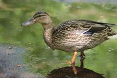 鸭子在春天在水坑,一只鸭子的走 免版税图库摄影