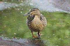 鸭子在春天在水坑,一只鸭子的走 免版税库存照片