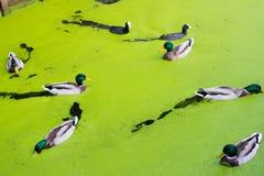 鸭子在春天 库存照片