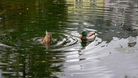 鸭子在有反射的一个池塘 免版税库存图片