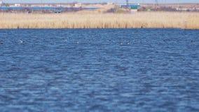 鸭子在有大海和好的黄色芦苇的一个湖游泳并且潜水 股票录像