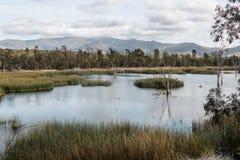 鸭子在有沼泽草、树和山的湖 免版税库存照片