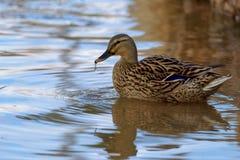 鸭子在有水下落的池塘 免版税库存照片