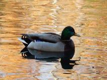 鸭子在橙色水中 免版税库存照片