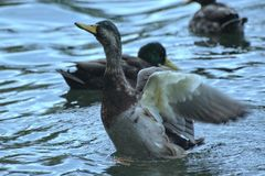 鸭子在水中 图库摄影